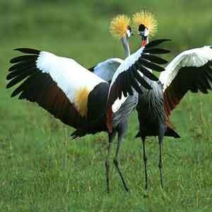 Żuraw-crane-bird-1